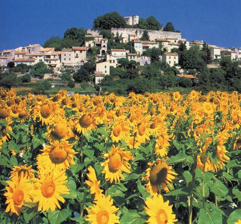 Luberone Sunflowers 470